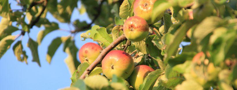 Bild Äpfel am Baum