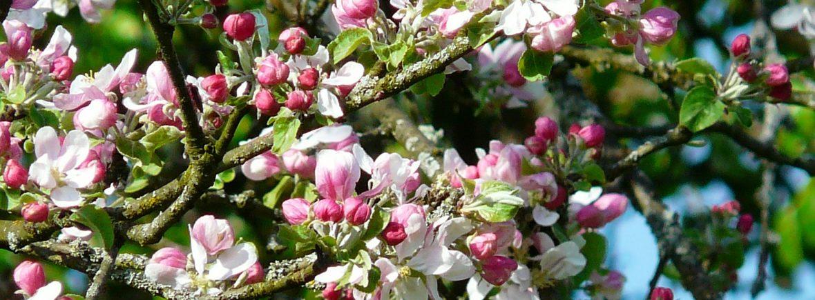 Bild Obstbaumblüten