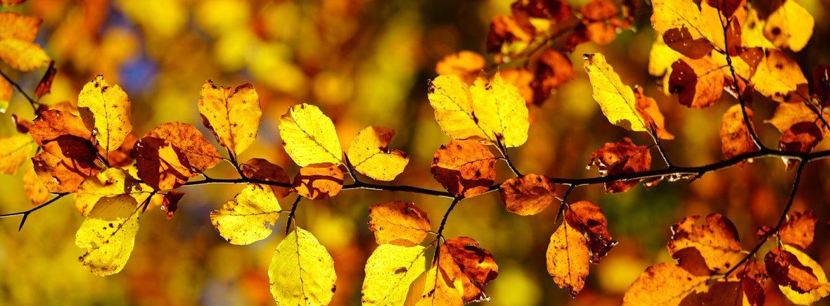 Bild Buchenlaub im Herbst